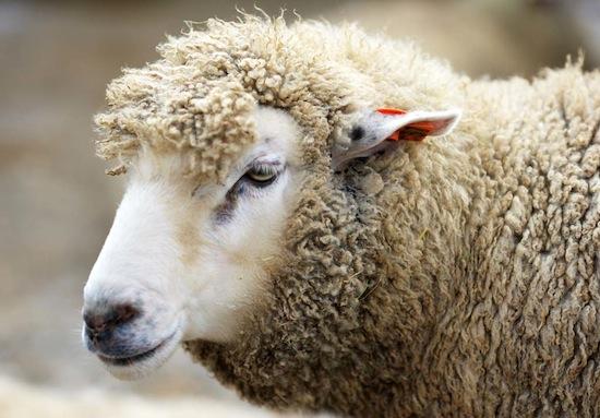 Учёные создали химер — овец с человеческими органами