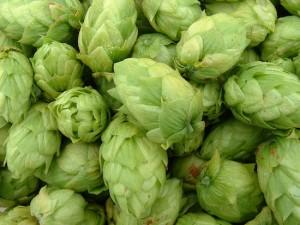 12 фактов о производстве и использовании хмеля в пивоварении
