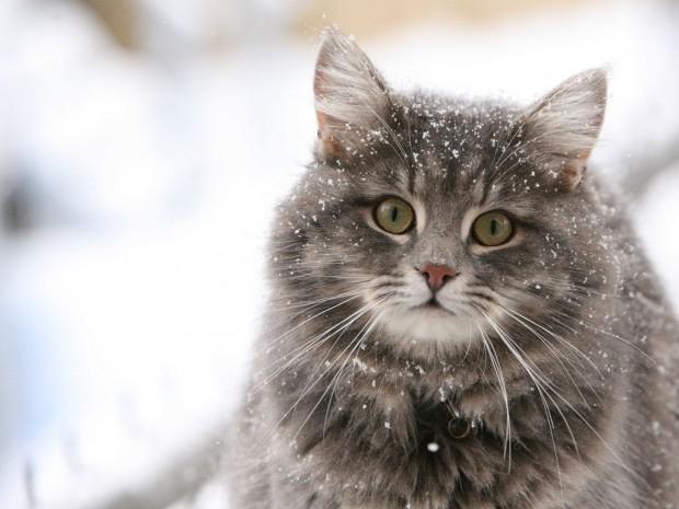 Благодаря стерилизации домашние кошки всё ещё имеют гены диких животных
