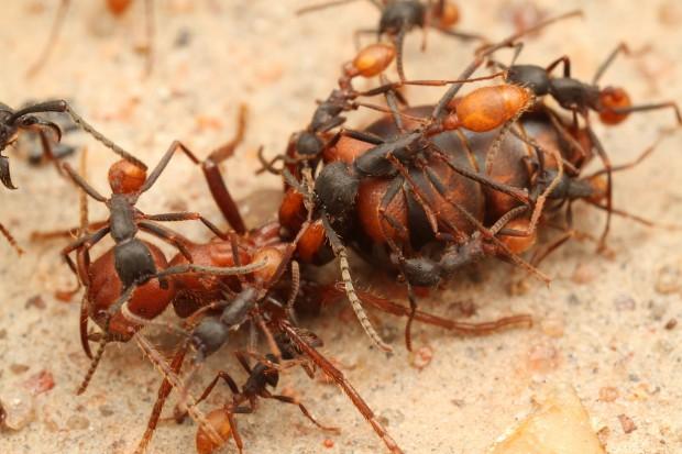 Царица муравьёв способна прожить 20-30 лет