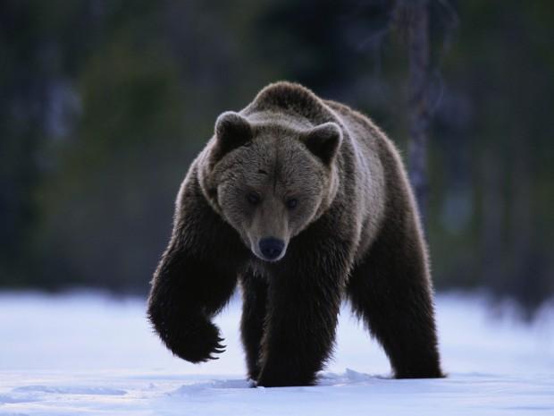 были ли случаи сношения с медведем