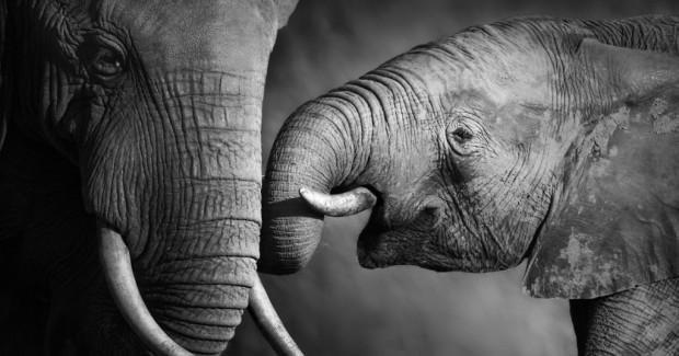 Слоны слышат ногами