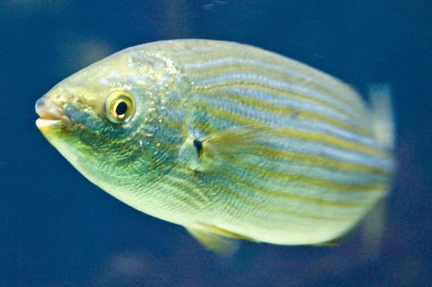 Рыба сальпа содержит галлюциногены