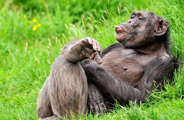 Шимпанзе — не обезьяны