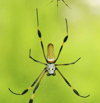 Самец паука-кругопряда во время секса делает партнёрше массаж, чтобы она его не съела