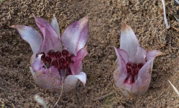Существует цветок, который растёт под землёй