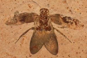 Blattulidae