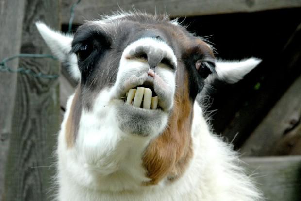 Любимый боевой приём самца ламы — откусить противнику яички