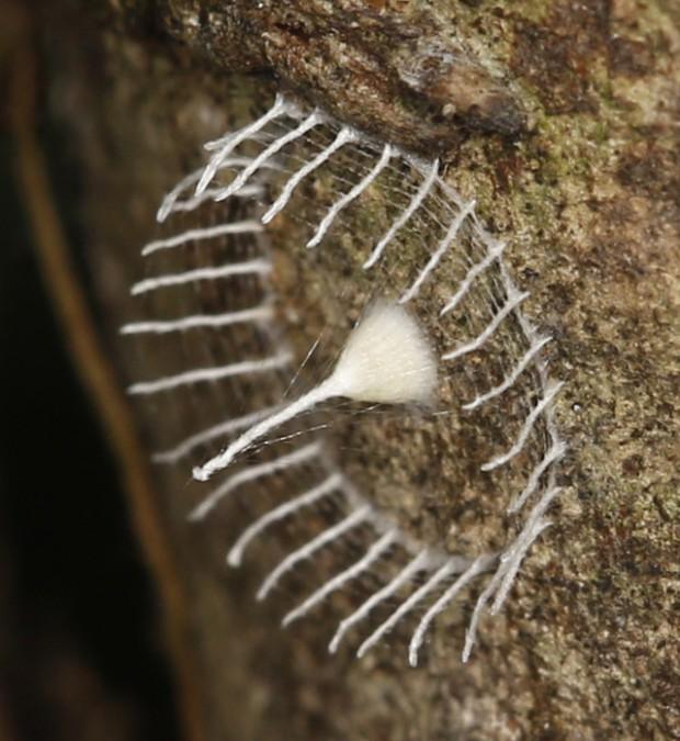 Те таинственные «башенки» в Амазонии, оказывается, построили пауки