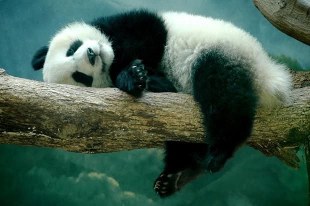 Природа сыграла над пандами злую шутку — они обречены на вымирание