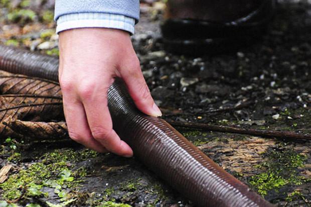 самый большой в мире дождевой червь фото