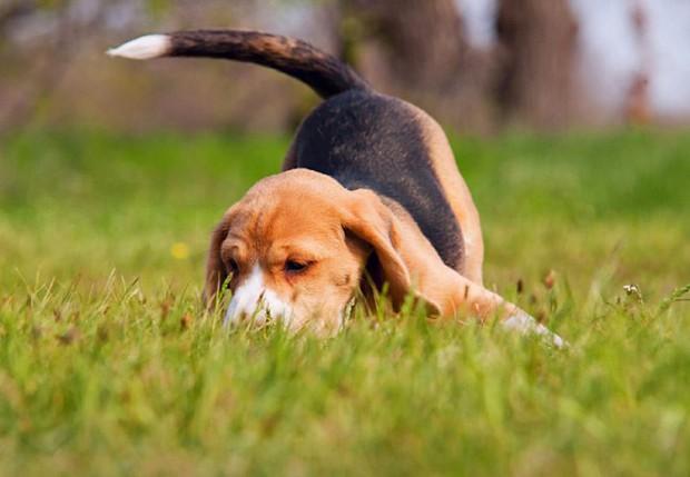 Собаки виляют хвостом для того, чтобы распространять свой запах