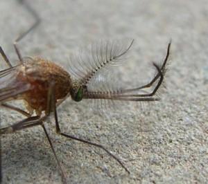 В лондонском метро водится уникальный вид комаров, которого нет больше нигде в мире