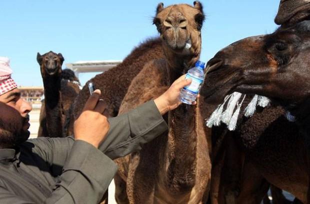 В ОАЭ ежегодно проводится конкурс красоты среди верблюдов
