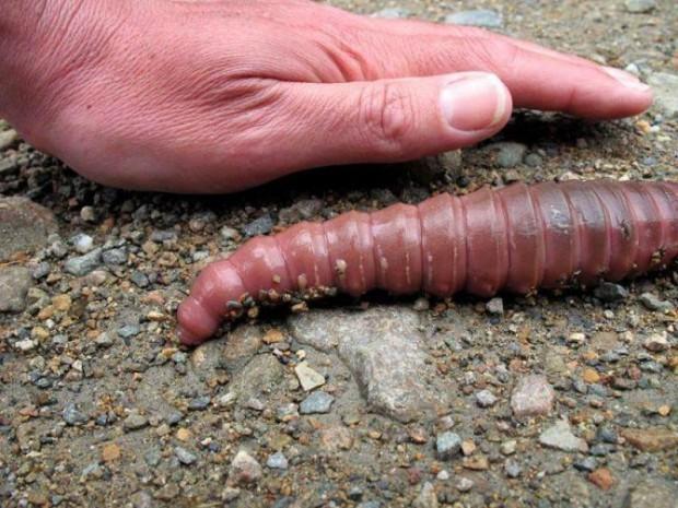 самые большие паразиты в организме человека