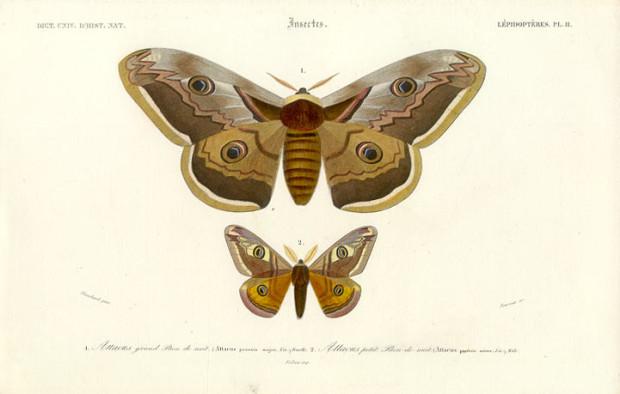 Mabra Elephantophila