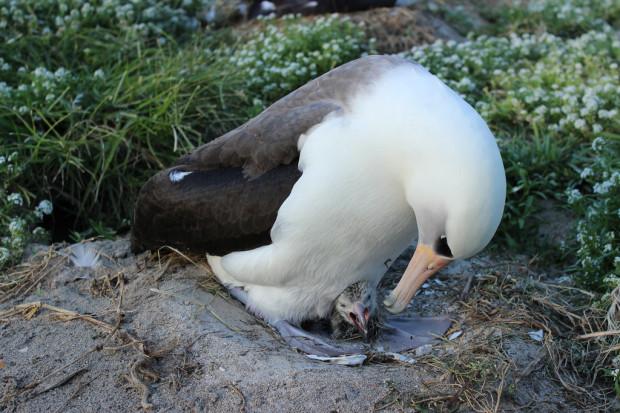 Старейшая дикая птица в мире — 63-летняя самка альбатроса на днях стала матерью