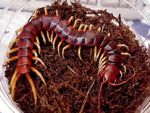самая большой сараканошка