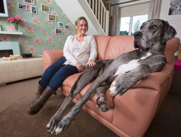 Эта гигантская собака продолжает расти
