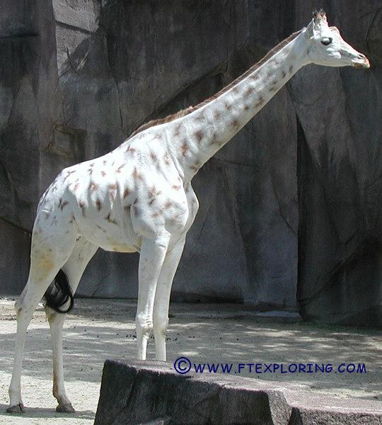 Существуют жирафы-«призраки»