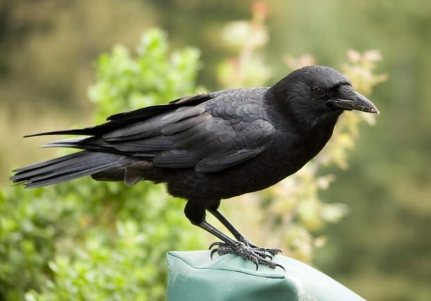 Гениальная ворона решает сложнейшие головоломки, чтобы добыть лакомство