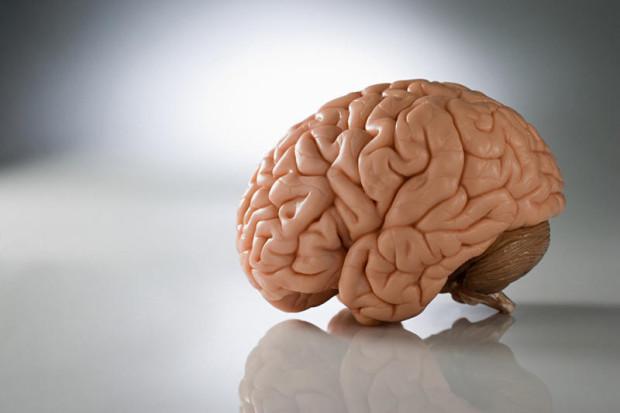 Мужской мозг больше, чем женский, примерно на 8-13%
