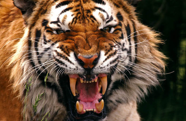 Индийский студент залез в вольер, чтобы подраться с тиграми (но те убежали и спрятались)