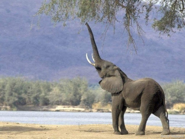Слоны способны узнавать человеческие голоса и различать по голосу мужчин и женщин