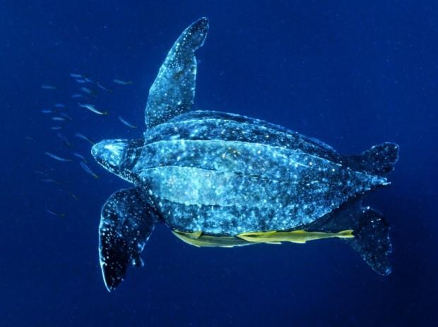 Ужасный рот кожистой черепахи