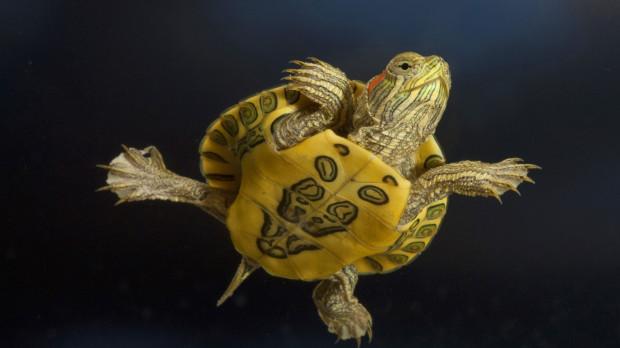Черепах невозможно заразить зевотой