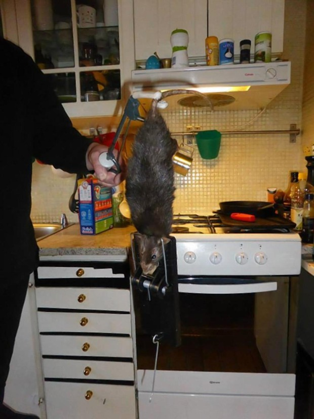 Рэтзилла — гигантская крыса из Великобритании