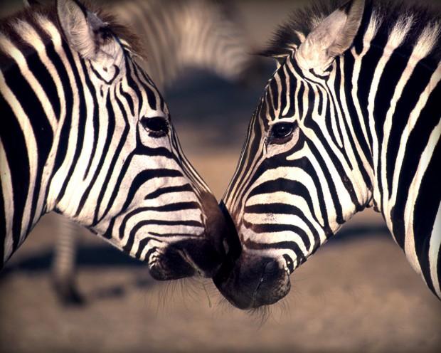 Зебры полосатые только из-за мух