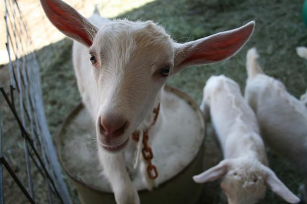 Пауко-козы, рептилии, сверчки и ещё 7 самых странных животных, которых выращивают на фермах