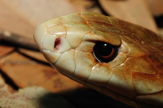 Тайпан —крупная австралийская змея, чей укус считается самым опасным среди современных змей