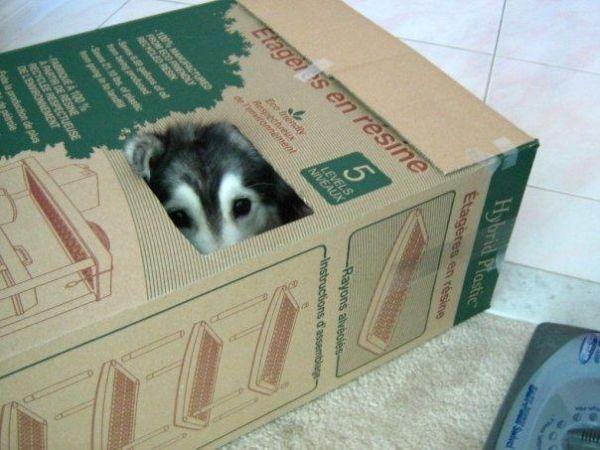 Собака Толли породы хаски ведёт себя как кошка