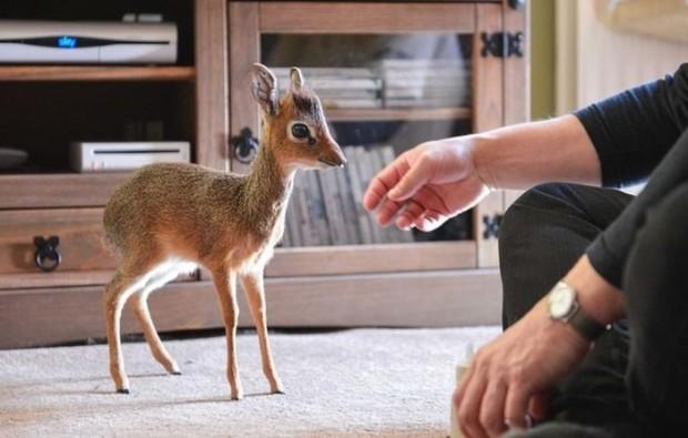 Самая маленькая антилопа в мире меньше кошки