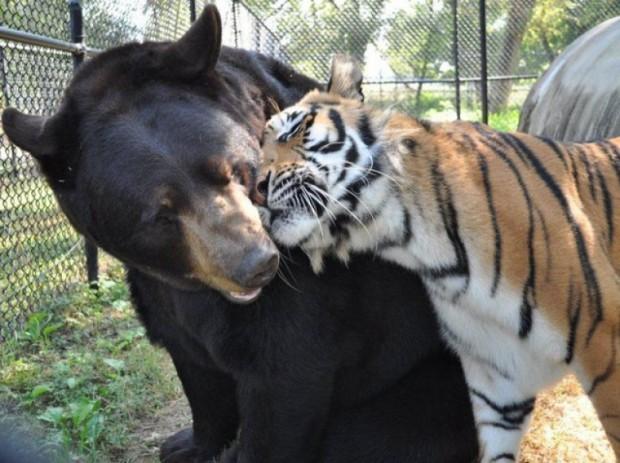 Лев, тигр и медведь стали лучшими друзьями в приюте для животных