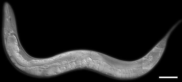 Caenorhabditis elegans / © www.nematode.net