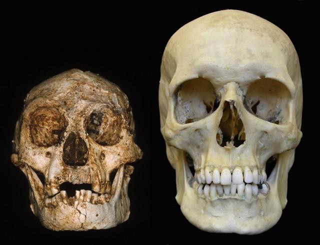 Сравнение черепов Homo floresiensis и Homo sapiens