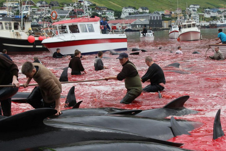 8 кровавых фактов о том, как забивают чёрных дельфинов на Фарерских островах (6 фото + видео)