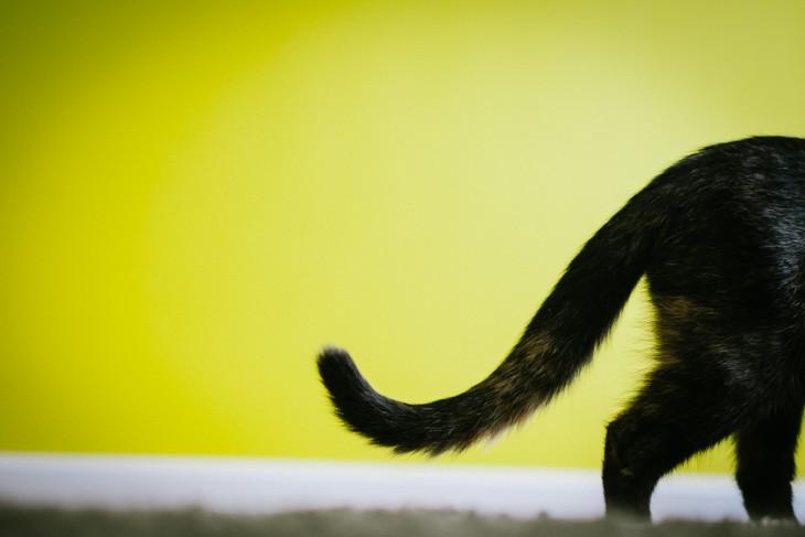Хвост — это даже не предмет. Это целая философия. 10 волнующих фактов о кошачьем хвосте