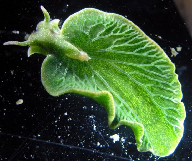 Это маленькое и зелёненькое — наполовину животное, наполовину растение!