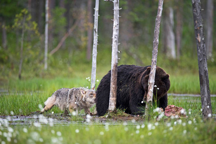 Удивительная дружба между медведем и волчицей
