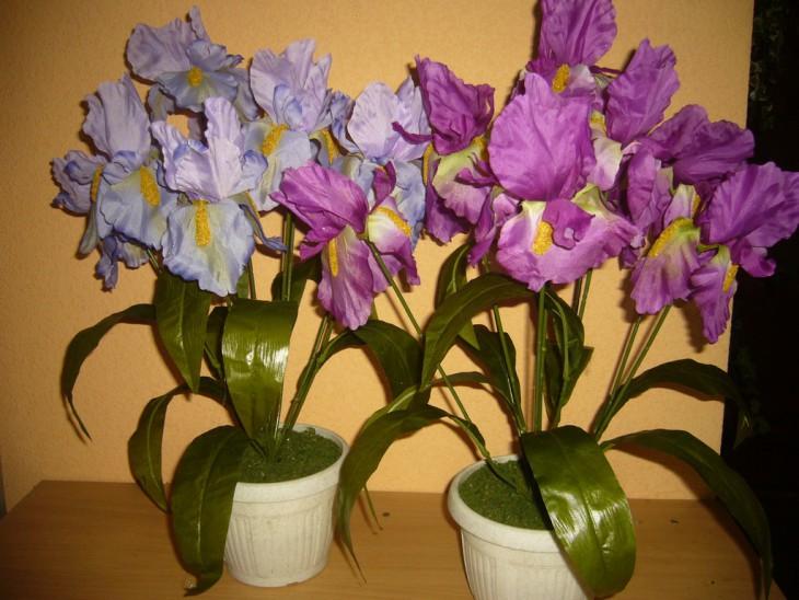 Ирис комнатный цветок фото
