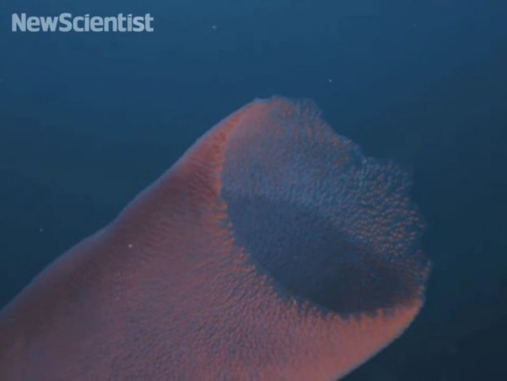 Познакомьтесь с пиросомами — невероятно странными морскими обитателями!