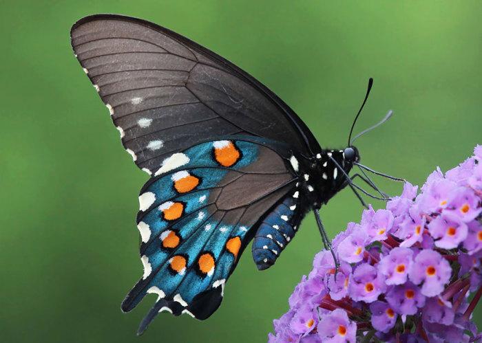 Скачать бабочка торрент