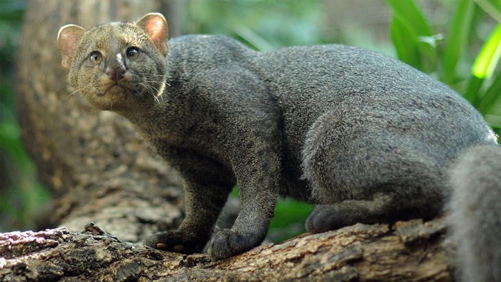 17 великолепных котов, о которых никто не слышал