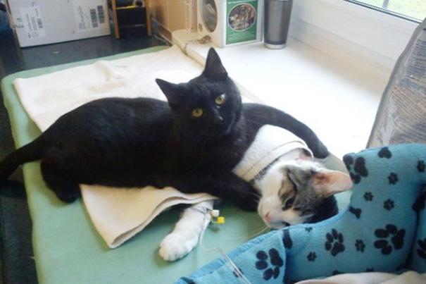 Фото - удивительная кошка медсестра помогает ухаживать за больными животными
