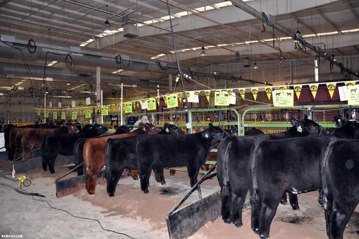 Плюшевые красавицы коровы из Айовы