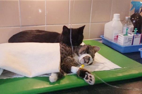 Фото 2 - удивительная кошка медсестра помогает ухаживать за больными животными